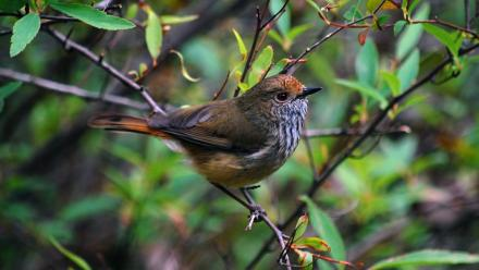 A brown thornbill in the wild. Photo: supplied
