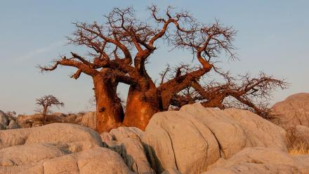 Baobab tree in Botswana. Getty Images.