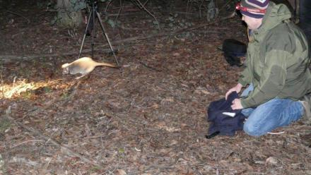 A bettong is released at Mulligans Flat Woodland Sanctuary.