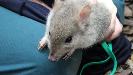 An Eastern Bettong being held by Associate Professor Adrian Manning.