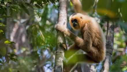 A female Northern Yellow Cheeked Crested Gibbons (nomascus annamensis) in Veun Sai-Siem Pang National Park in Cambodia's Ratanakiri province. Photo: Peter Williams