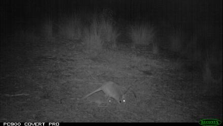 Research at night to track the Bettongs at Mulligans Flat Woodland Sanctuary.