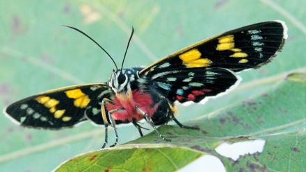 Painted Day-moth, Agarista agricola Image: Michael Braby.