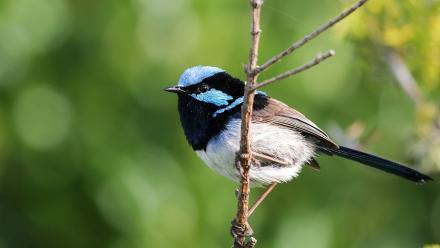 Male fairy-wren. Photo by Jessica McLachlan.
