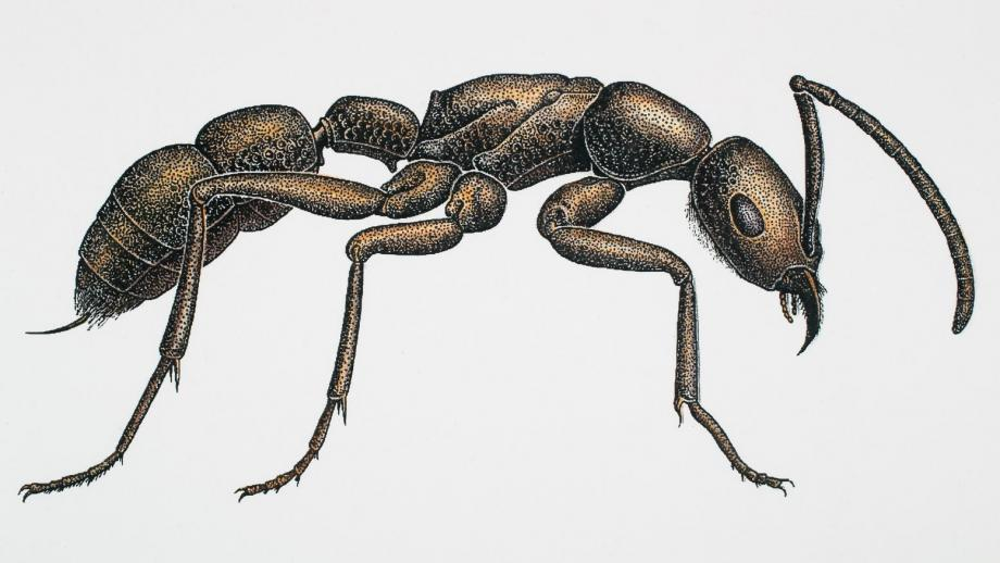 ladina ribis hand drawn bull ant