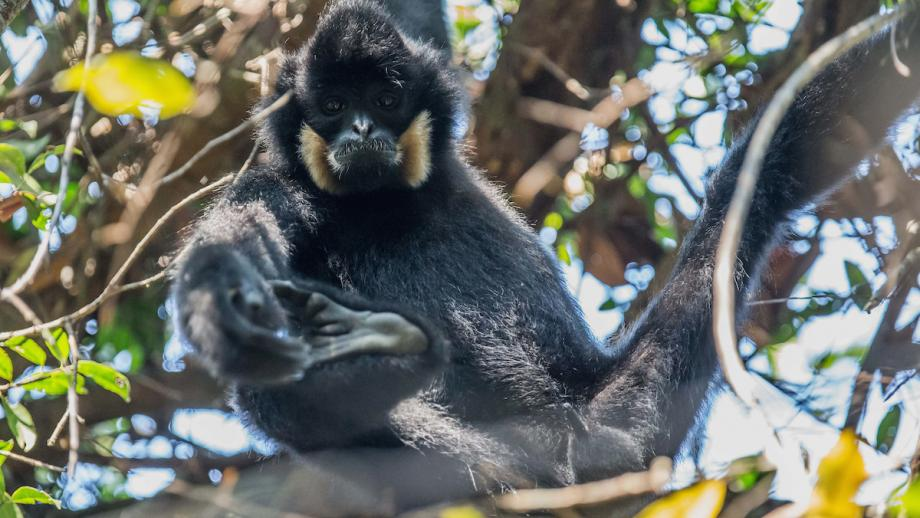 A male Northern Yellow Cheeked Crested Gibbons (nomascus annamensis) in Veun Sai-Siem Pang National Park in Cambodia's Ratanakiri province. Photo: Peter Williams