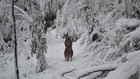 A kangaroo in snow at Smokers Flat, Namadgi National Park. Photo by Peter Meusburger.