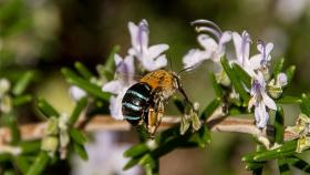 Blue-banded bee (Creative Commons)