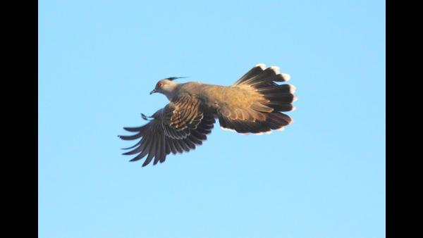 How does the crested pigeon make their mysterious alarm sound?