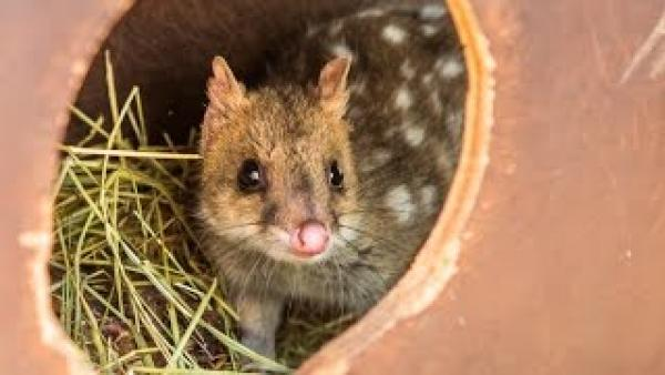 Quolls reintroduced to mainland after extinction
