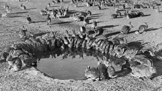 Rabbits were a plague in Australia for many years.