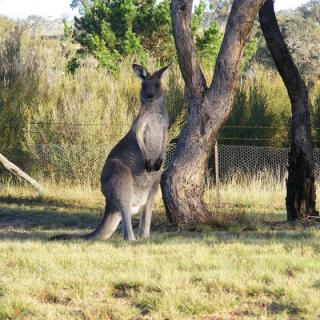 As the bush capital, Canberrans develop hobbies - such as kangaroo watching.